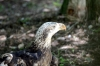 Bald Eagle maturing at Jax Zoo by Dan