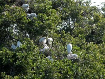 Wood Stork (Mycteria americana) with Chicks Jax Zoo by Lee
