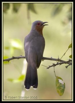 Bible Birds – CuckooIntroduction