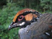 Hill Partridge (Arborophila torqueola) ©WikiC