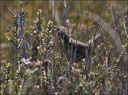 Striated Fieldwren (Calamanthus fuliginosus) by Ian