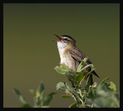 Sedge Warbler (Acrocephalus schoenobaenus) by Robert Scanlon