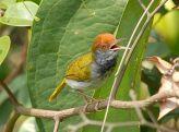 Dark-necked Tailorbird (Orthotomus atrogularis) ©WikiC