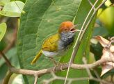 Dark-necked Tailorbird (Orthotomus atrogularis) ©WikiC