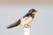 Hill Swallow (Hirundo domicola) ©WikiC