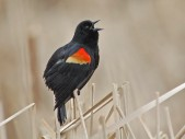 Red-winged Blackbird (Agelaius phoeniceus) by Ray