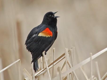 Red-winged Blackbird (Agelaius phoeniceus) by Ray