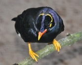 Common Hill Myna (Gracula religiosa) ©WikiC