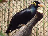 Common Hill Myna (Gracula religiosa) ©WikiC4 at Zoo