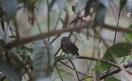 Chin Hills Wren-Babbler (Spelaeornis oatesi) ©©Flickr Brendan Ryan
