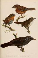 Chin Hills Wren-Babbler (Spelaeornis oatesi) ©Drawing WikiC
