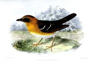 Crossley's Ground Thrush (Geokichla crossleyi) ©Drawing WikiC