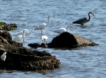 Reddish-Snowys-Greats Egrets -Great Blue Heron all MacDill by Lee