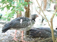 Southern Screamer (Chauna torquata) Jacksonville Zoo by Lee