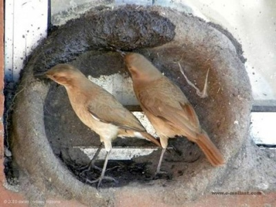 Birds building mud nest on window sill ©©