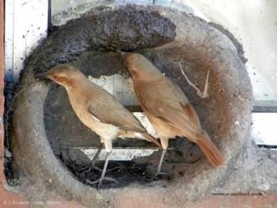 Birds building mud nest on window sill ©©