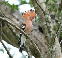 Bird of the Bible Photos –Hoopoe