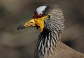 African Wattled Lapwing (Vanellus senegallus) close-up ©WikiC