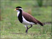 Banded Lapwing (Vanellus tricolor) by Ian