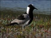 Blacksmith Lapwing (Vanellus armatus) by Ian
