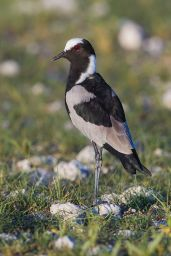 Blacksmith Lapwing (Vanellus armatus) ©WikiC
