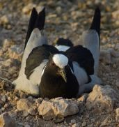 Blacksmith Lapwing (Vanellus armatus) on nest ©WikiC