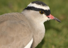 Avian And Attributes – CrownedII