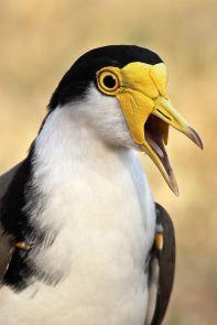 Masked Lapwing (Vanellus miles) ©WikiC