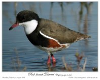 Red-kneed Dotterel (Erythrogonys cinctus) by Ian