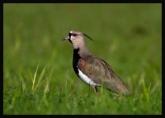 Southern Lapwing (Vanellus chilensis) by Robert Scanlon