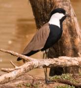 Spur-winged Lapwing (Vanellus spinosus) ©WikiC