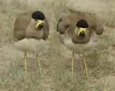 Yellow-wattled Lapwing (Vanellus malabaricus) by Nickil Devasar