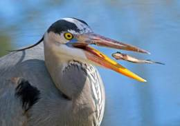 Great Blue Heron: Patient, Prompt, and (Rarely)Pugnacious