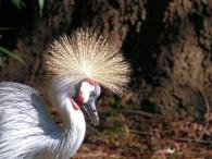 Grey Crowned Crane (Balearica regulorum gibbericeps) Riverbanks Zoo SC by Lee