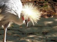 Grey Crowned Crane (Balearica regulorum) Riverbanks Zoo SC by Lee