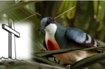 Luzon Bleeding-heart by Dan