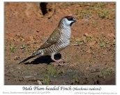 Plum-headed Finch (Neochmia modesta) by Ian