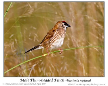 Plum-headed Finch (Neochmia modesta) by Ian male