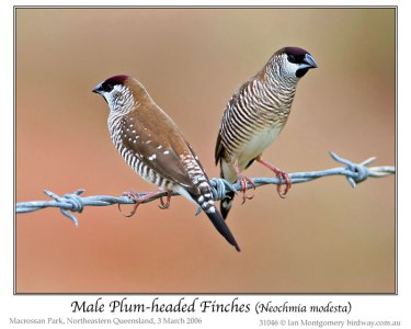 lum-headed Finch (Neochmia modesta) by Ian males