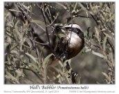 Hall's Babbler (Pomatostomus halli) by Ian