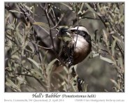 Hall's Babbler (Pomatostomus halli) by Ian
