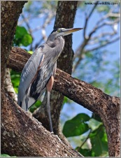 Great Blue Heron (Ardea herodias) by Raymond Barlow