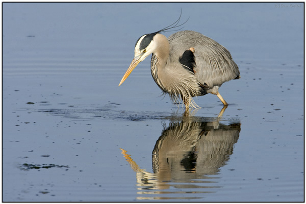 Great Blue Heron by Dave's Pix