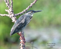 Striated Heron (Butorides striata) by Kent Nickel