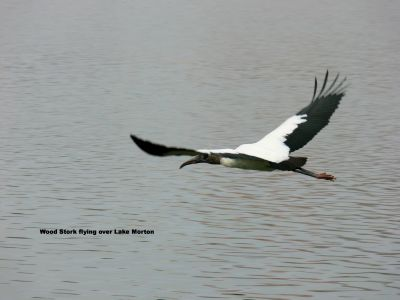 Wood Stork flying over Lake Morton by Lee 2009