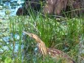 American Bittern (Botaurus lentiginosus) by Lee