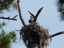 Western Osprey (Pandion haliaetus) by Lee at Honeymoon Is SP