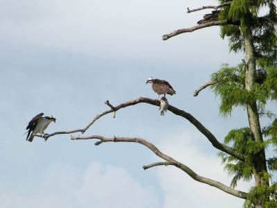 Western Osprey (Pandion haliaetus) With Fish