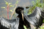 Anhinga by Dan at Circle B (1)