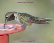 Broad-tailed Hummingbird (Selasphorus platycercus) by S Slayton